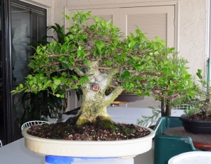 ficus before