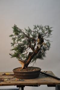 bonsai 5,6-09 030