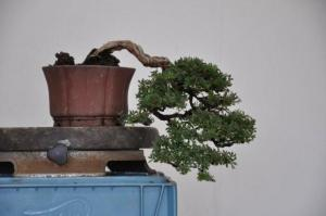 Styled Potentilla Bonsai