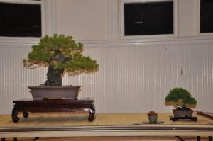 Shore pine 2