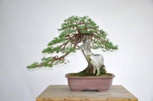 Robert Johnnys Bonsai after