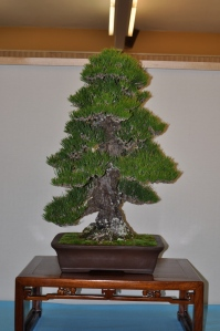 Members Choice award large conifer